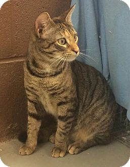 Domestic Shorthair Cat for adoption in Havelock, North Carolina - Shasta