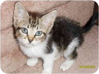 Domestic Shorthair Kitten for adoption in Frenchtown, New Jersey - DeeDee