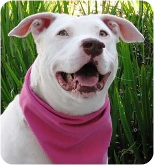 Pit Bull Terrier Dog for adoption in Encinitas, California - Bitty