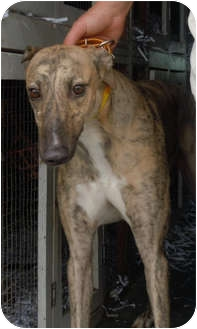 Greyhound Dog for adoption in Knoxville, Tennessee - Tigger