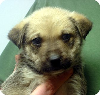 German Shepherd Dog Mix Puppy for adoption in baltimore, Maryland - Lassie