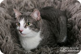 Domestic Shorthair Cat for adoption in Eagan, Minnesota - Duke