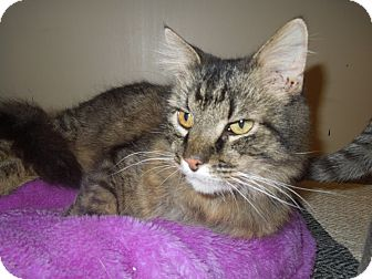 Domestic Mediumhair Cat for adoption in Medina, Ohio - Archie