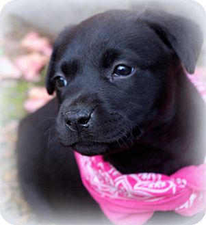 Labrador Retriever/French Bulldog Mix Puppy for adoption in Charlemont, Massachusetts - Annie