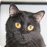 Domestic Shorthair Cat for adoption in St. James City, Florida - Capricorn
