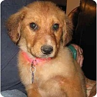 Adopt A Pet :: Teddy - Golden Valley, AZ