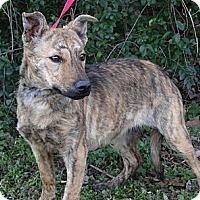 Adopt A Pet :: *Fawn - PENDING - Westport, CT