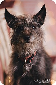 Chinese Crested Schnauzer Mix