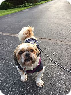Shih Tzu Mix Dog for adoption in Doylestown, Pennsylvania - Duffy