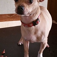 Chihuahua Dog for adoption in Inman, South Carolina - Cody