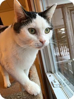 Domestic Shorthair Cat for adoption in Hanna City, Illinois - Kylee