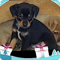 Adopt A Pet :: EBONY TRI BOY - Pompton Lakes, NJ