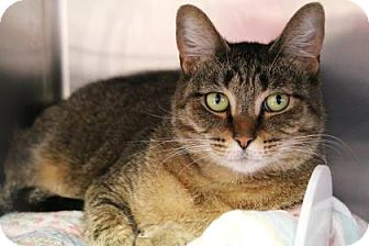 Domestic Shorthair Cat for adoption in Bellevue, Washington - Nala