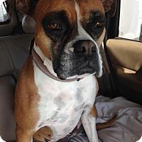 Adopt A Pet :: Athena 2 - Woodinville, WA