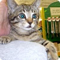 Adopt A Pet :: Stipple - Dallas, TX