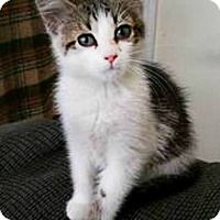 American Shorthair Kitten for adoption in Roanoke, Virginia - Stimpy