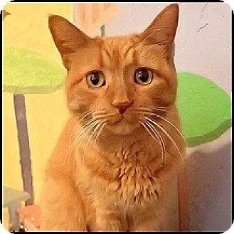 Domestic Shorthair Cat for adoption in Colorado Springs, Colorado - Abbey