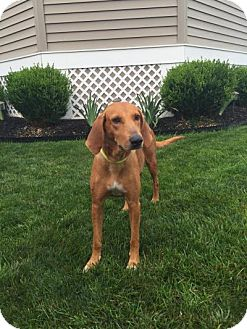 Redbone Coonhound Dog for adoption in Willingboro, New Jersey - Madge