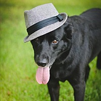 Labrador Retriever Mix Dog for adoption in Lake Jackson, Texas - Franklin