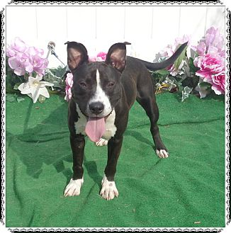 Labrador Retriever Mix Dog for adoption in Marietta, Georgia - HENNESY see also PRINCE