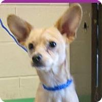Adopt A Pet :: PEBBLES - Red Bluff, CA