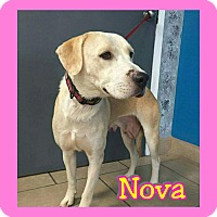 Labrador Retriever Mix Dog for adoption in Mesa, Arizona - Nova