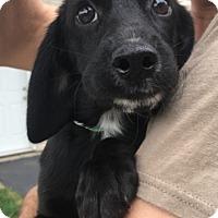 Adopt A Pet :: Cersei - Warrenville, IL