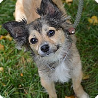 Chihuahua Mix Dog for adoption in Cokato, Minnesota - Felix