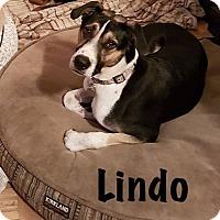Adopt A Pet :: Lindo - Calgary, AB