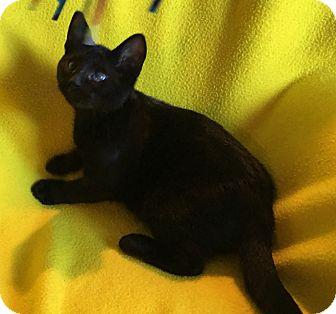 Domestic Shorthair Kitten for adoption in Meridian, Idaho - Cowboy