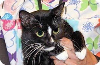 Domestic Shorthair Cat for adoption in Wildomar, California - 322428