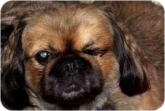 Pekingese Dog for adoption in Edmeston, New York - Boo Boo Bear-NY