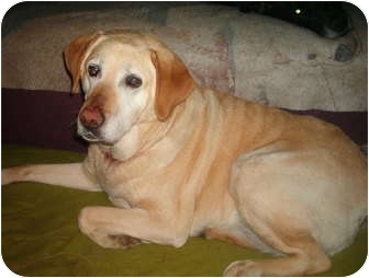 Labrador Retriever Dog for adoption in North Jackson, Ohio - Carly