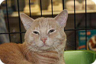 Domestic Shorthair Cat for adoption in Santa Monica, California - Damon