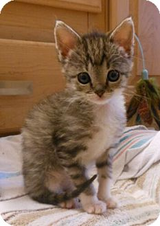 Domestic Shorthair Kitten for adoption in Reston, Virginia - Becka