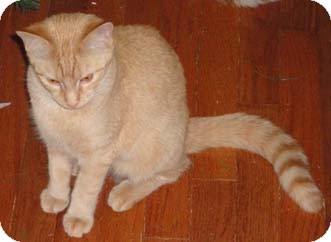 Domestic Shorthair Cat for adoption in Merrifield, Virginia - Shell