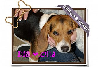 Beagle Dog for adoption in Portland, Oregon - Diamond