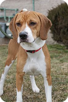 Foxhound Mix Dog for adoption in Rockaway, New Jersey - Roxanne