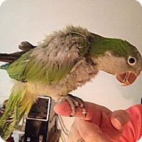 Adopt A Pet :: Ziggy - St. Louis, MO