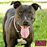 Australian Cattle Dog/American Staffordshire Terrier Mix Dog for adoption in Marina del Rey, California - Roxy