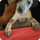 Adopt A Pet :: CAMELIA
