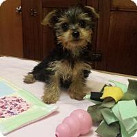 Adopt A Pet :: Paisley - Sinking Spring, PA