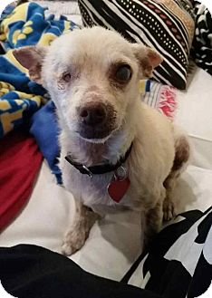 Chihuahua Mix Dog for adoption in Los Angeles, California - GEORGE