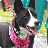 Rat Terrier/Feist Mix Dog for adoption in West Grove, Pennsylvania - Gracie
