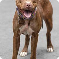 Adopt A Pet :: Cocoa - Pottsville, PA