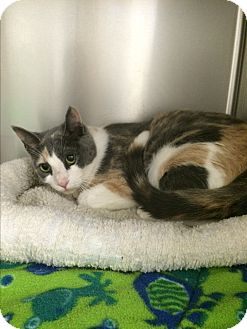 Domestic Shorthair Cat for adoption in Lunenburg, Massachusetts - Sasha