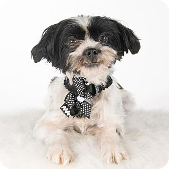 Shih Tzu/Papillon Mix Dog for adoption in St. Louis Park, Minnesota - Abree