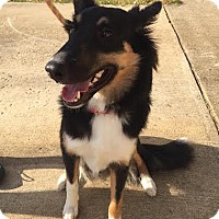 Collie Dog for adoption in Chantilly, Virginia - Jazz