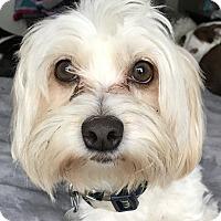 Adopt A Pet :: Oreo - Tumwater, WA
