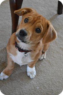 Dachshund/Corgi Mix Puppy for adoption in Hedgesville, West Virginia - Cosmo Kramer